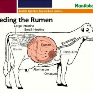 diagram of a cow rumen