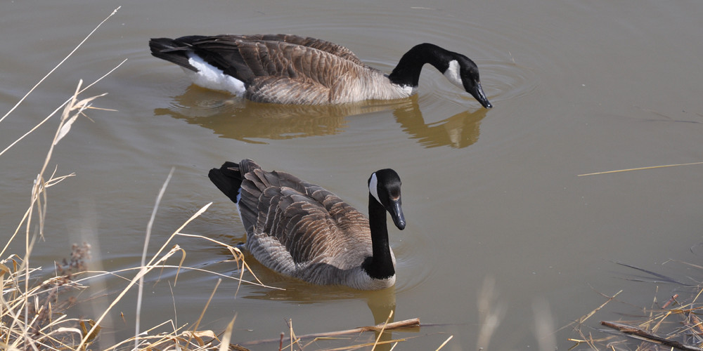 Early geese are a welcome sign of spring.