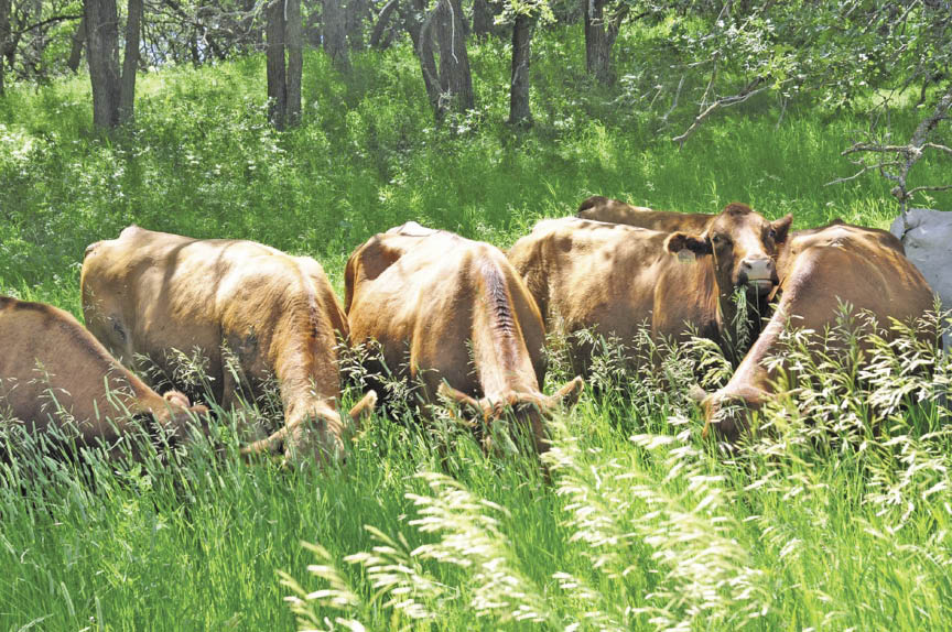 Rapidly growing forages could cause deadly grass tetany