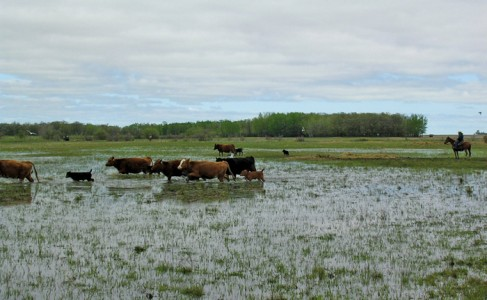 cattle walking on a flooded field