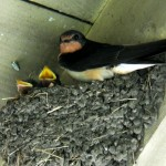 A barn swallow with hungry babies.