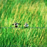 barn swallows on a fence