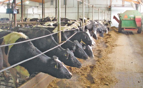dairy cattle in a barn