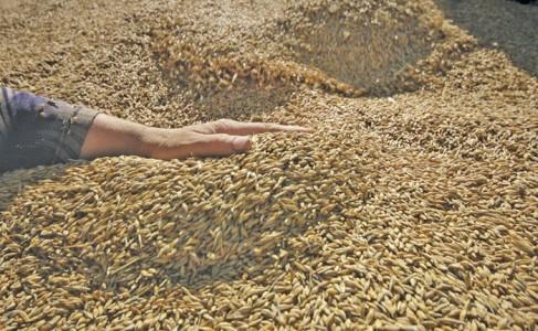 hand running through a pile of grain