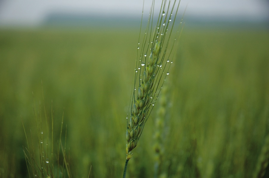 wheat with green stem
