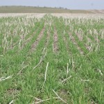 """MAFRD has been measuring soil temperatures in four winter wheat fields (see CropChatter link in main article). Plotting soil temperatures against various """"hardiness"""" curves can provide an early indication if there is a concern for winter injury or winterkill."""