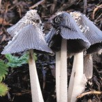 The grey shag mushroom produces copsin, which is more stable than other antibiotics.