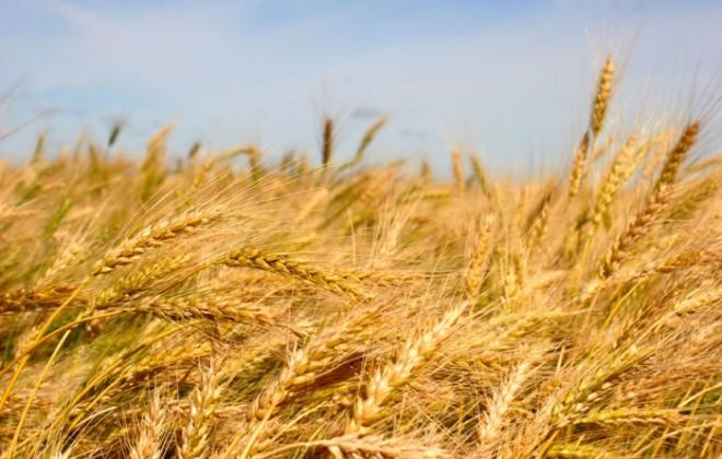 mature winter wheat crop