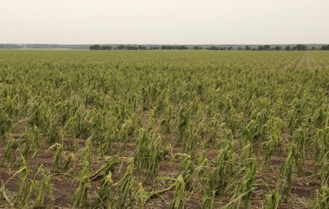 corn crop destroyed by hail