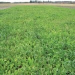 A pea – oat – tillage radish cover crop seeded in early August, pictured on October 17.