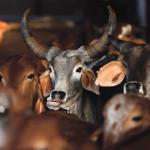 "Rescued cattle are seen at a ""goushala,"" or cow shelter, run by Bharatiya Gou Rakshan Parishad, an arm of the Hindu nationalist group Vishwa Hindu Parishad (VHP), at Aangaon village in the western Indian state of Maharashtra February 20, 2015."