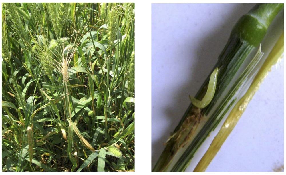 White head from wheat stem maggot (l), and larva of wheat stem maggot.