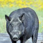 Researchers believe wild boars are more prevalent than many people realize.