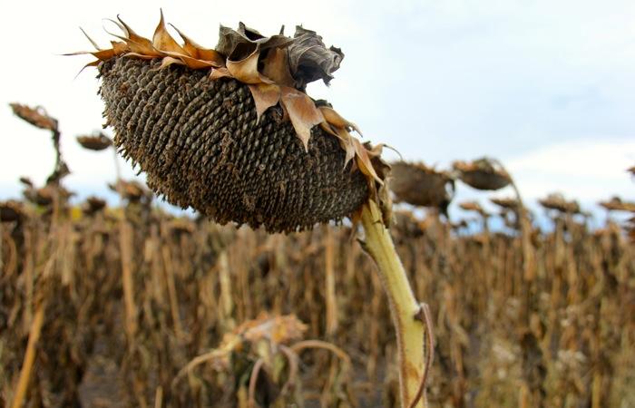 sunflower head at harvest