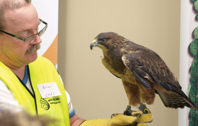 A Swainson's hawk rests on it's handlers arm at the raptor festival.