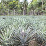 A special type of photosynthesis called CAM allows pineapples to grow on marginal land with up to 80 per cent less water than most food crops.