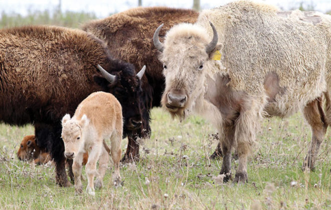 The white calf and its mother are believed to be two of three white bison in Manitoba.