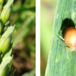 Aphids on wheat (l) and an aphid mummy.
