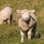 Too much or too little copper in feed rations can both cause health problems for sheep.