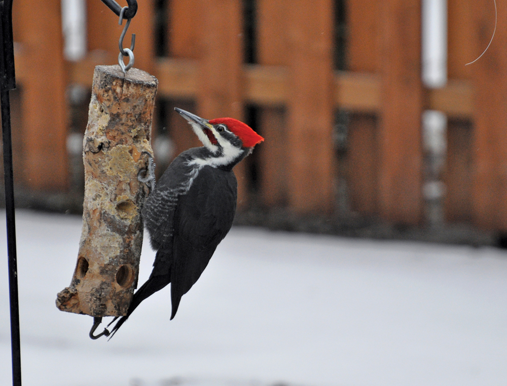 Suet will attract some types of birds like this pileated woodpecker.