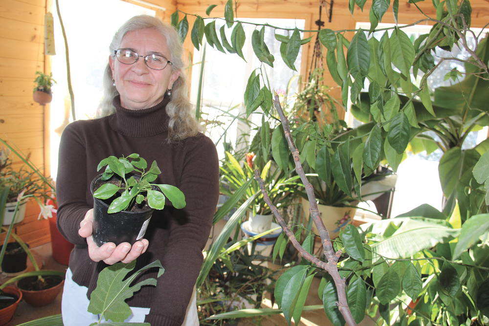Ernestine Sepke holds up the tiny orange trees she's started from seed from a Sunkist orange. The retired Glenboro farmer's bright sunroom has many more tropical fruits growing in it.