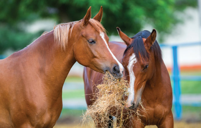 The importance of feeding salt to horses