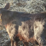 Early detection of coccidiosis is important for getting calves treated, NDSU Extension livestock specialists say.