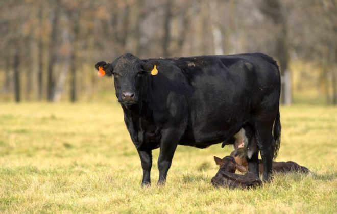 A newborn black angus calf with it's mother
