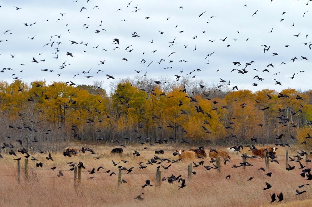 A swarm of blackbirds takes flight.