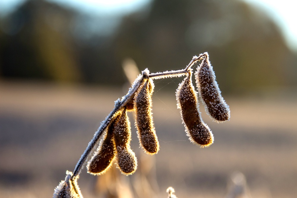 Unharvested soybeans on a cold winter morning.