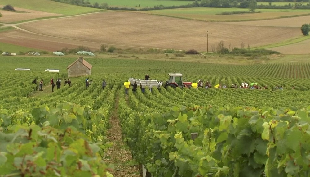 VIDEO: Climate change takes its toll on Chablis