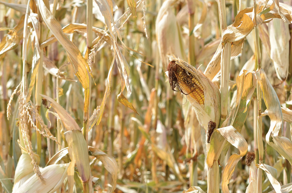 Standing corn may be a viable way for Manitoba producers to extend their grazing season, but there are a few things to watch for.