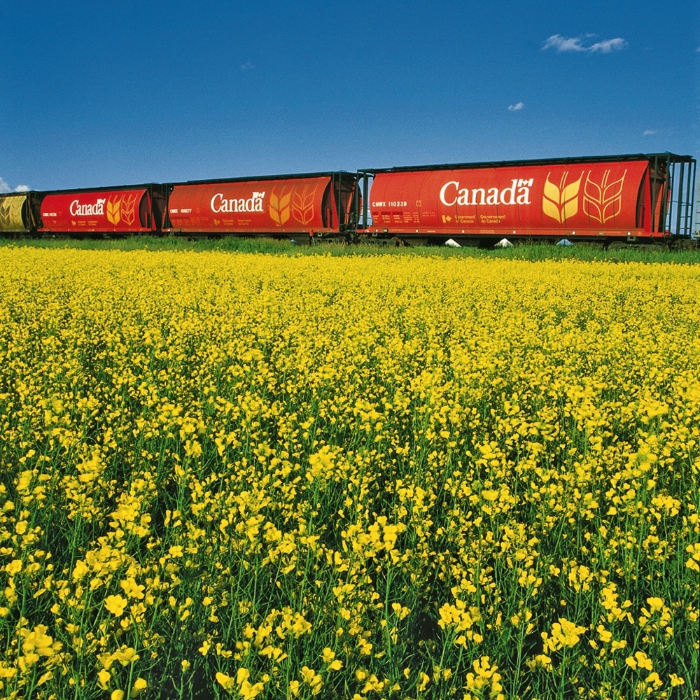 grain train canola field