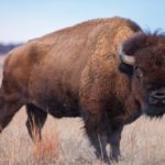 Canada's bison industry is in the midst of its quinquennial producer survey.