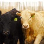 Cattle volumes on lighter side as fall run draws near