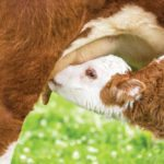 When cows are making milk for calves, their own nutritional needs are higher too.