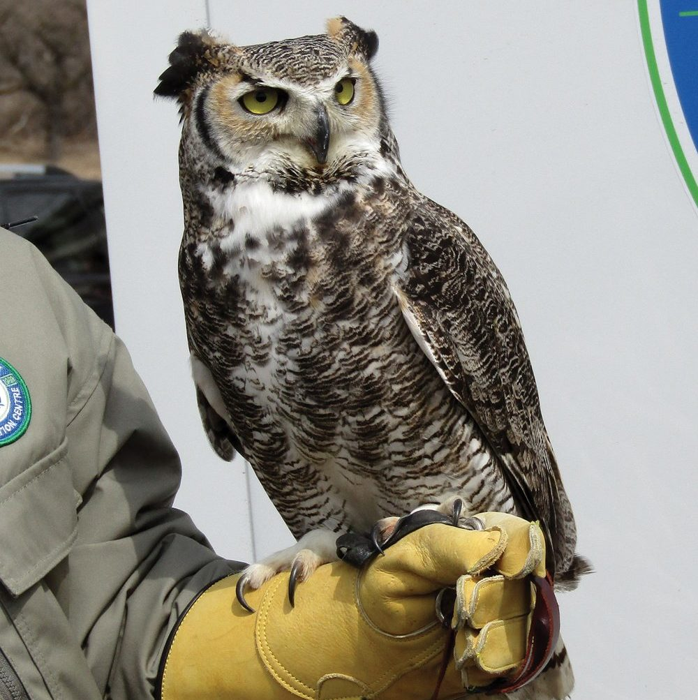 This great horned owl was at the festival last year.