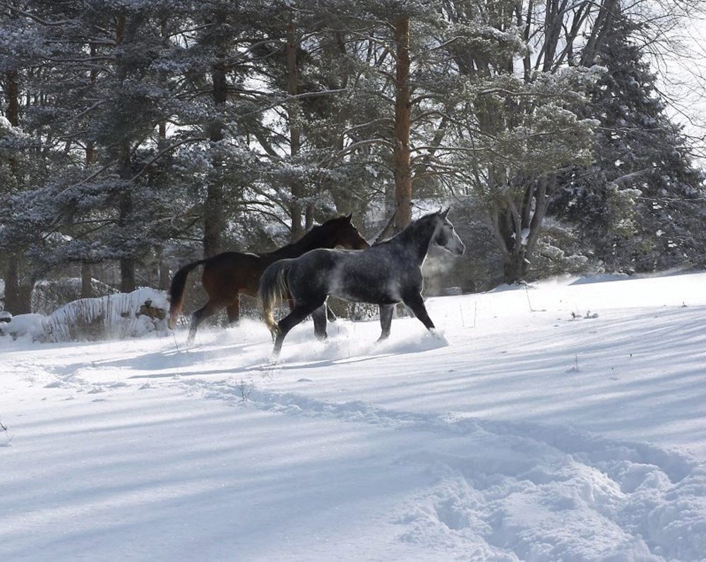The heavier winter coat protects horses from the harsh weather, but when spring arrives it begins to loosen and fall out.