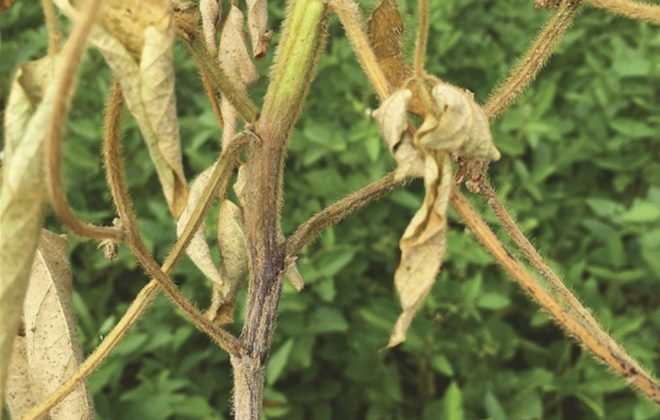 A close-up of a lower stem lesion on soybean caused by phytophthora.