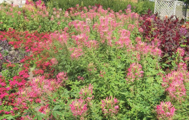 A drift of cleome is effective in a mixed border.