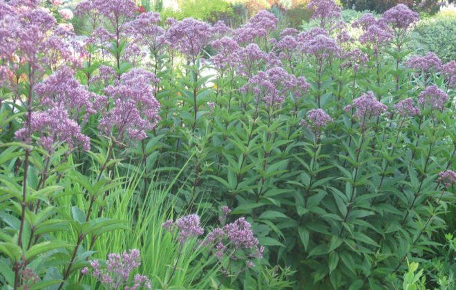 Joe Pye Weed in a large perennial border is quite stunning 