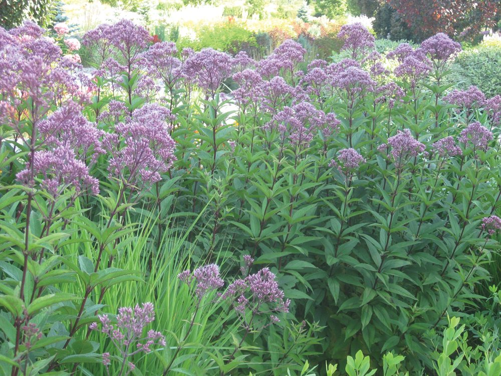 Native Plant Hardy Joe Pye Weed One Tough Customer