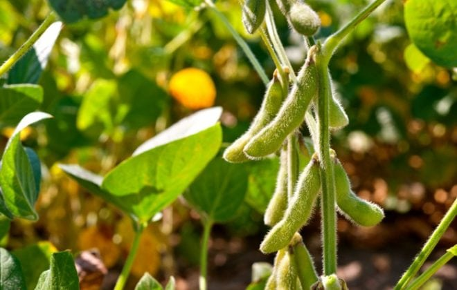 field soybeans