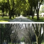 The U.S. Midwest has been fighting emerald ash borer for years. Seen here is a residential street in Toledo, Ohio. Both photos were taken in the summer. The first is from 2006 when emerald ash borer was first discovered, the second shows the near-total devastation the pest caused by 2009.
