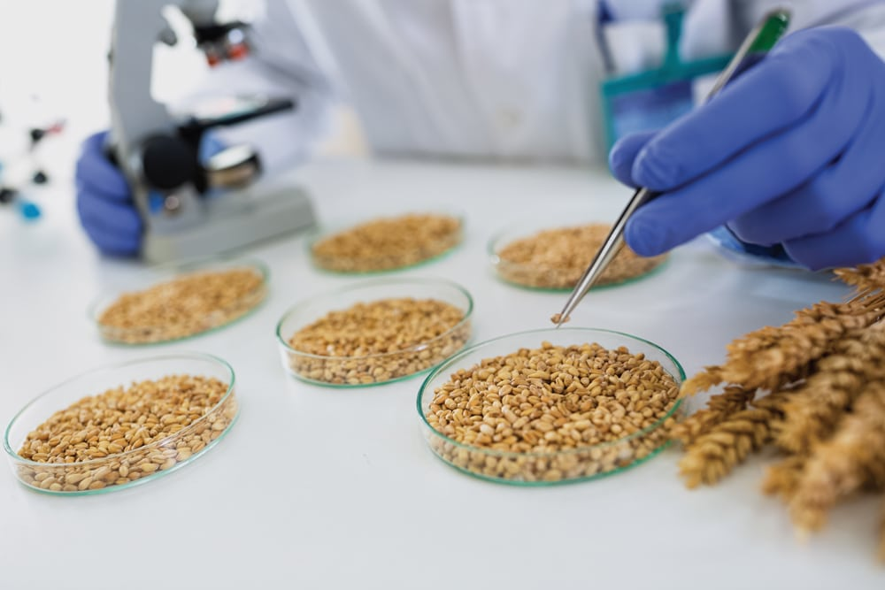 Canadian wheat is under the microscope following the discovery of an unapproved genetically modified variety in Alberta.
