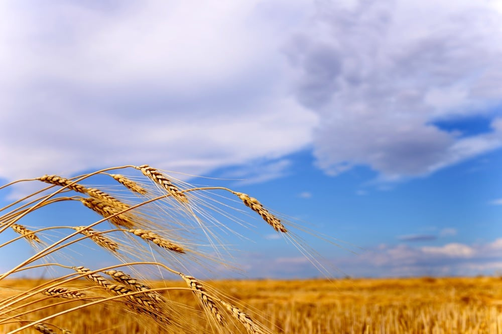 The CFIA announced on June 14 that seven genetically modified wheat plants had been found earlier this year.