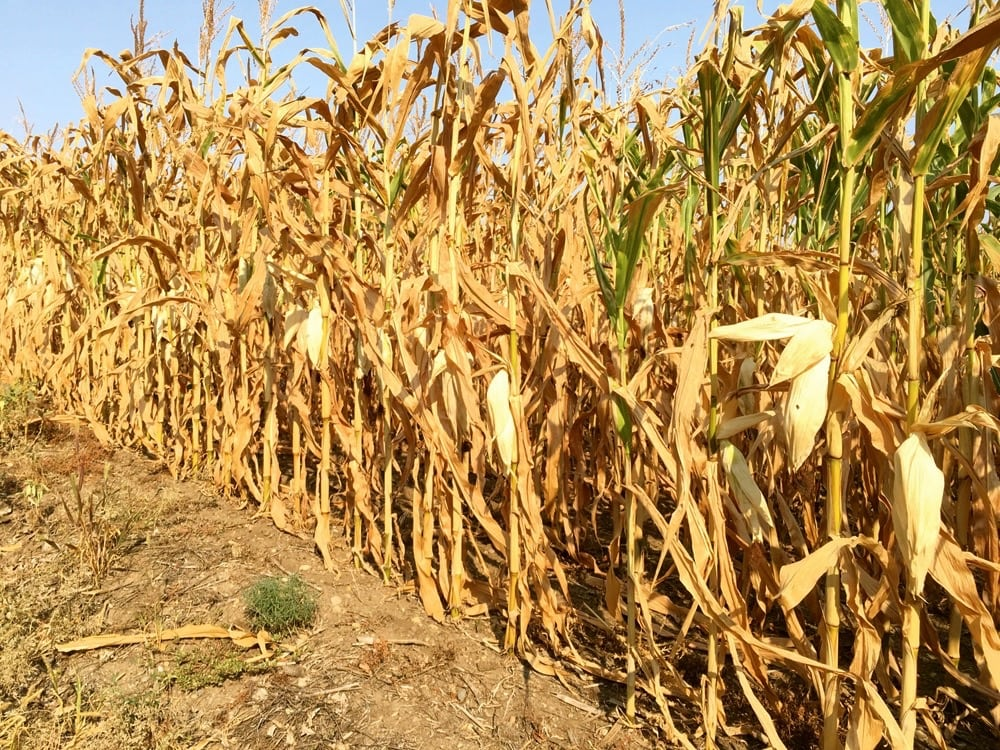 Some Manitoba cornfields, or parts of them, are maturing faster than usual because of the previous hot and dry growing conditions.