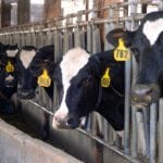 Canadian dairy cows produce roughly 8,500 litres of milk per cow per year.