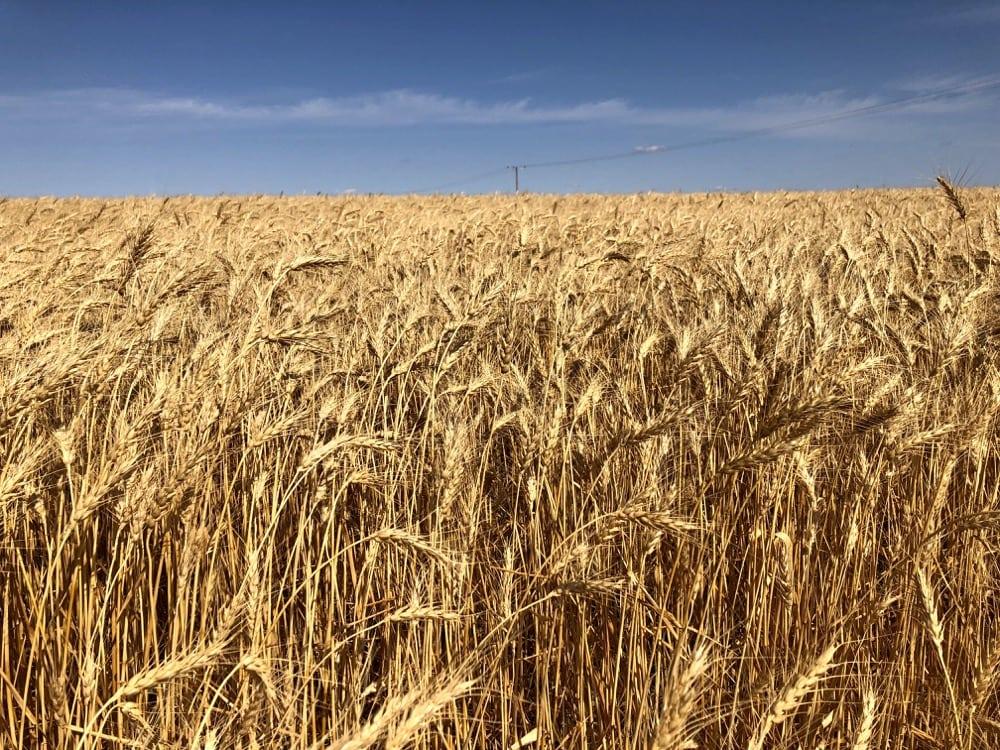 A mature wheat crop in southern Saskatchewan, on Sept. 2, 2018.