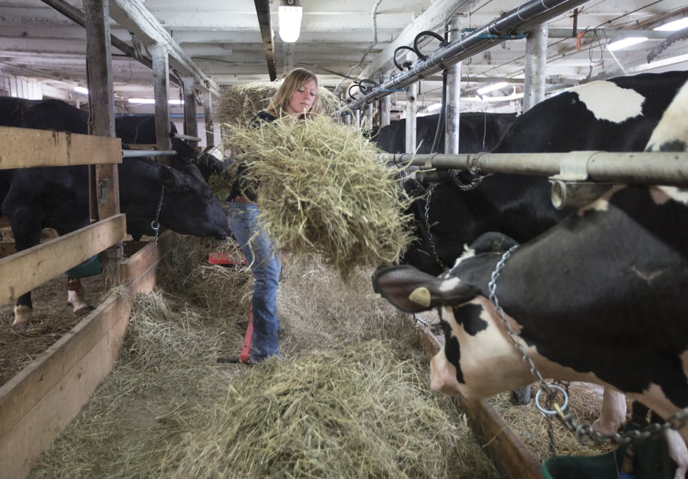 Dairy farmer Marie-Pier Vincent feeds her dairy cows at her farm in Saint-Valerien-de-Milton, southeast of Montreal.